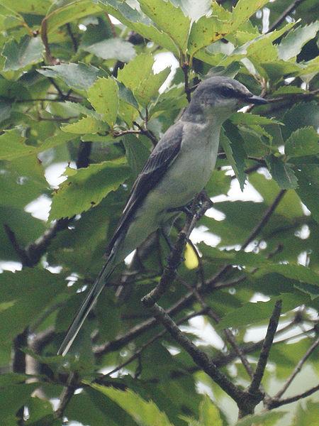 450px-Pericrocotus_divaricatus2.jpg
